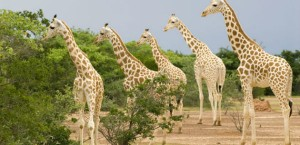 West-African-Giraffe-or-N-016