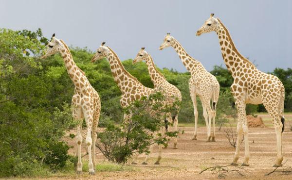 West-African-Giraffe-or-N-016