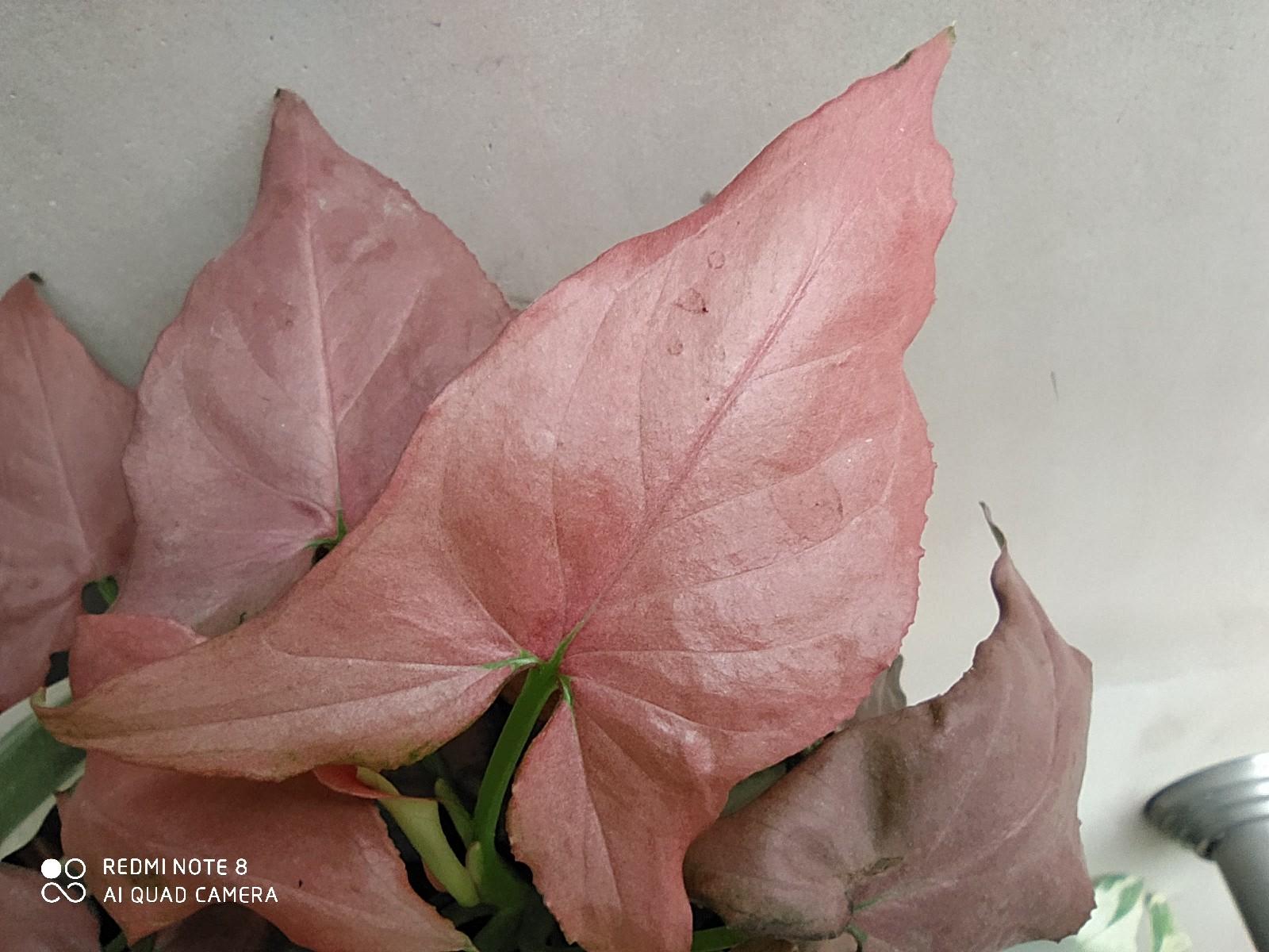 Redmi Note 8 macro mode leaf