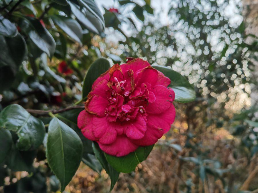 P40 Pro camera sample Flower bokeh color test