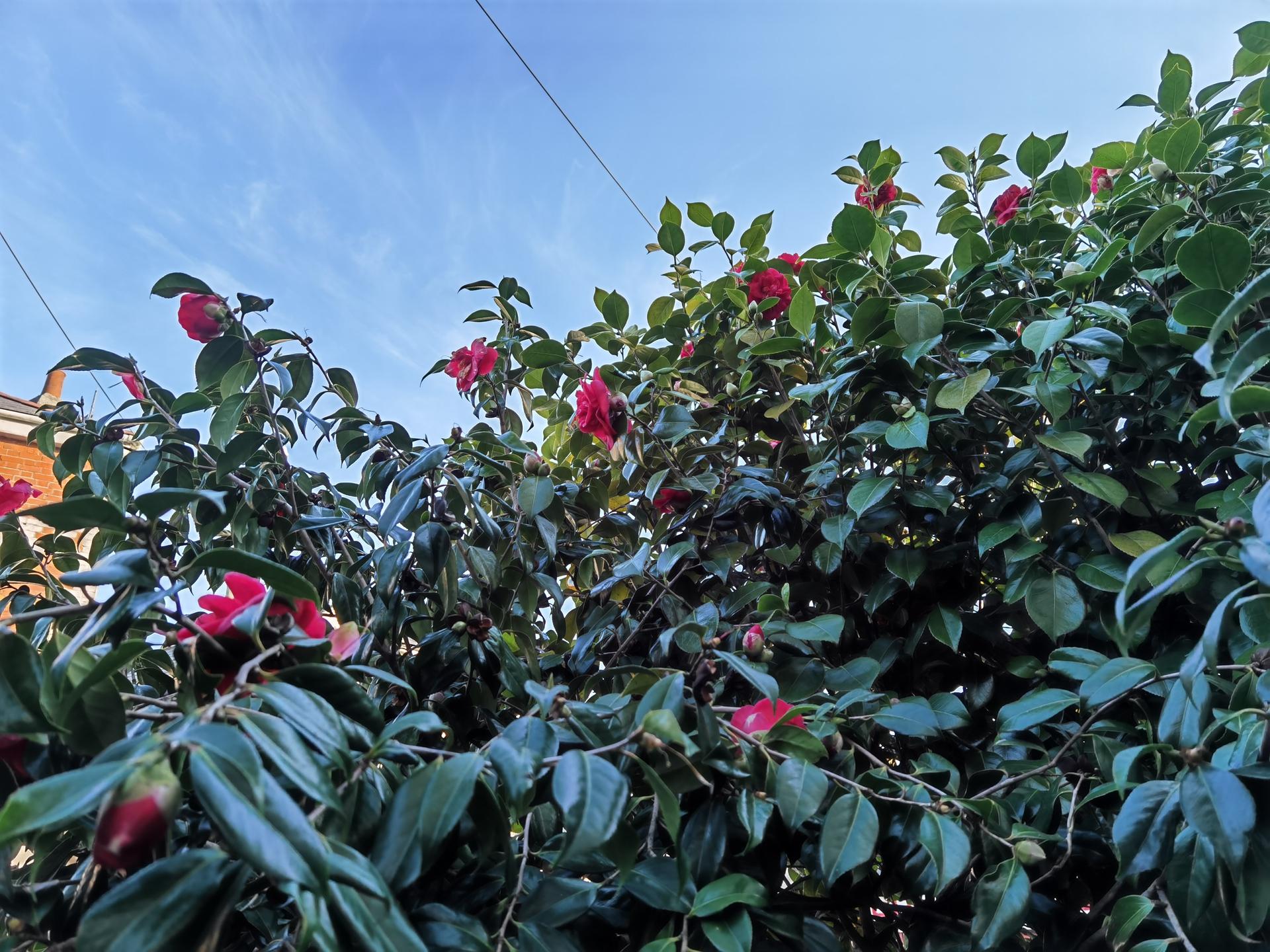 P40 Pro camera sample HDR test of a bush