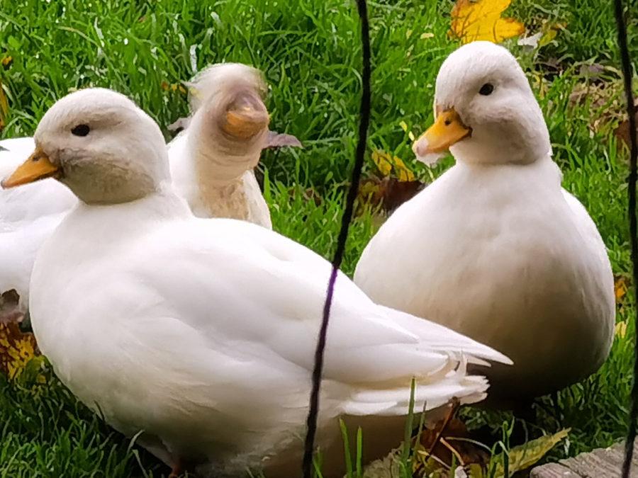 7x ducks crop Huawei P40 Pro