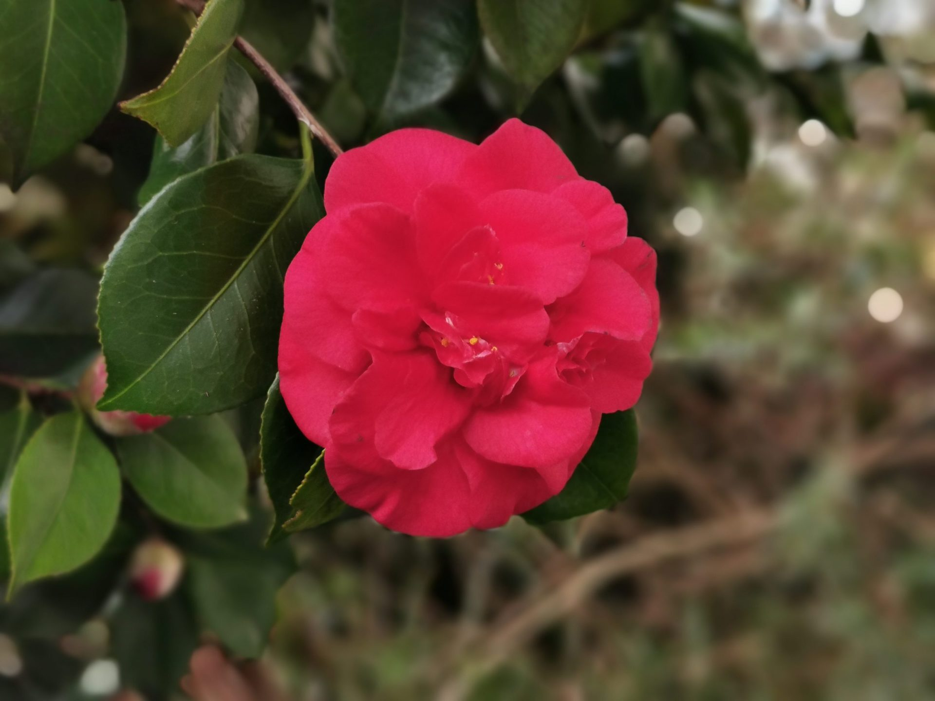 Huawei P30 Pro aperture photo sample of a red flower