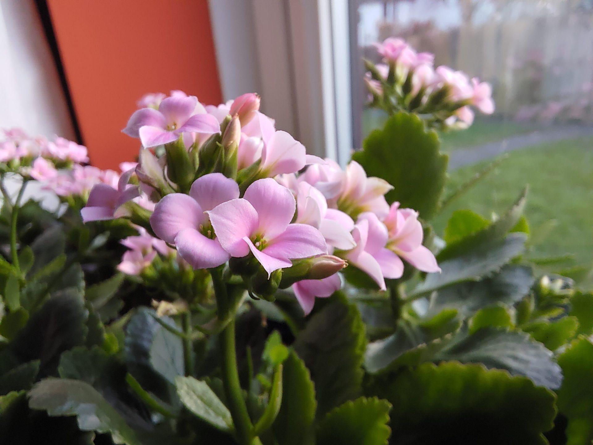 ROG Phone 5 macro camera sample of a pink flower