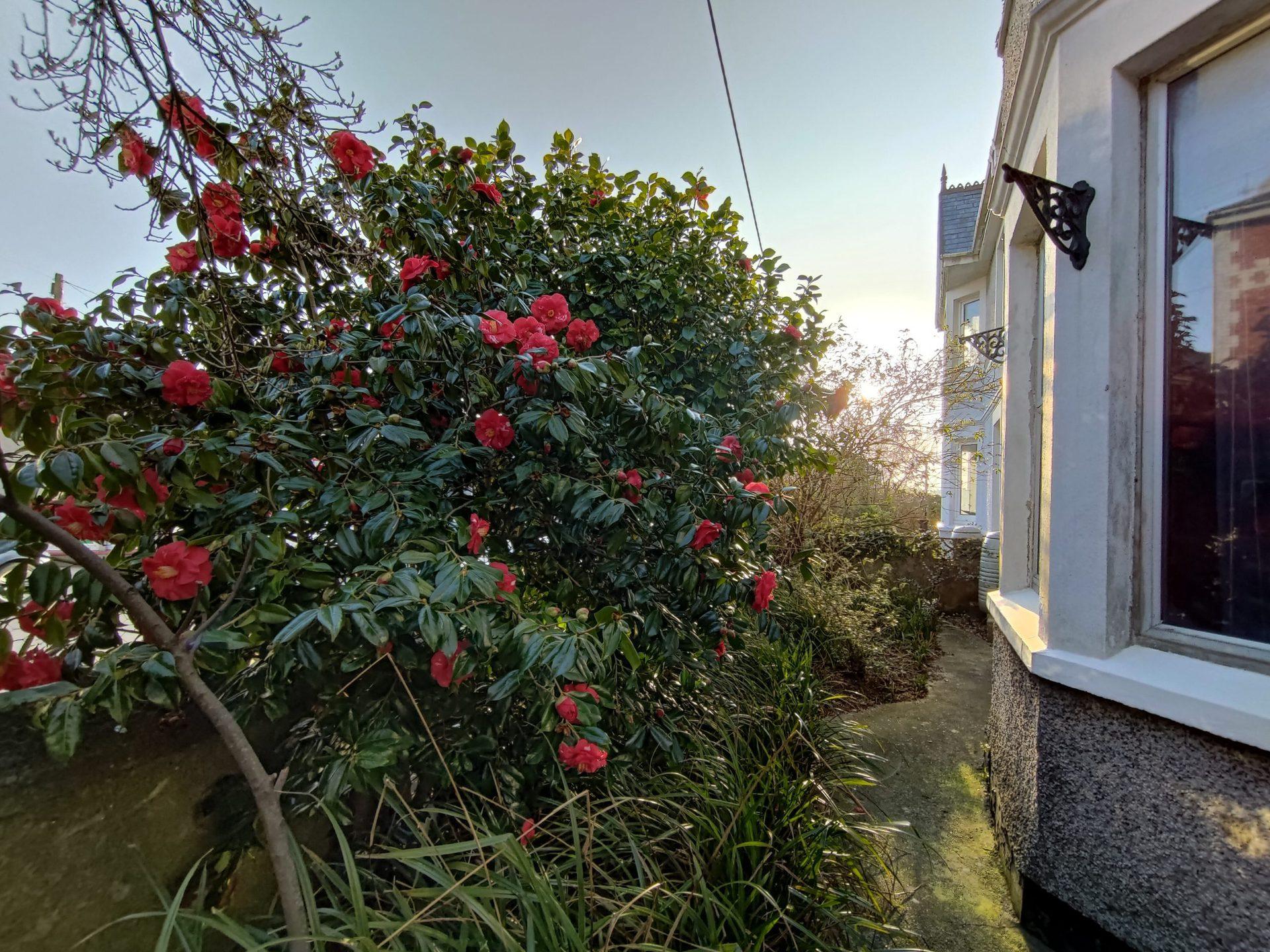 ROG Phone 5 ultra wide camera sample of a flowery bush