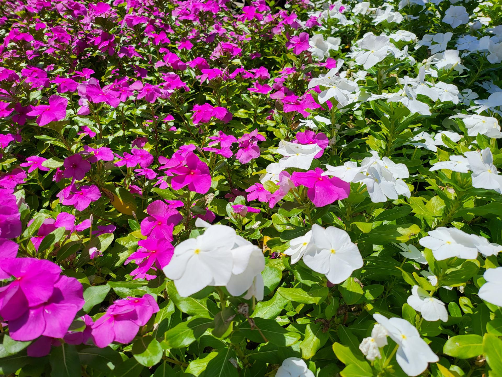 Samsung Galaxy Z Fold 3 photo sample white and purple flowers