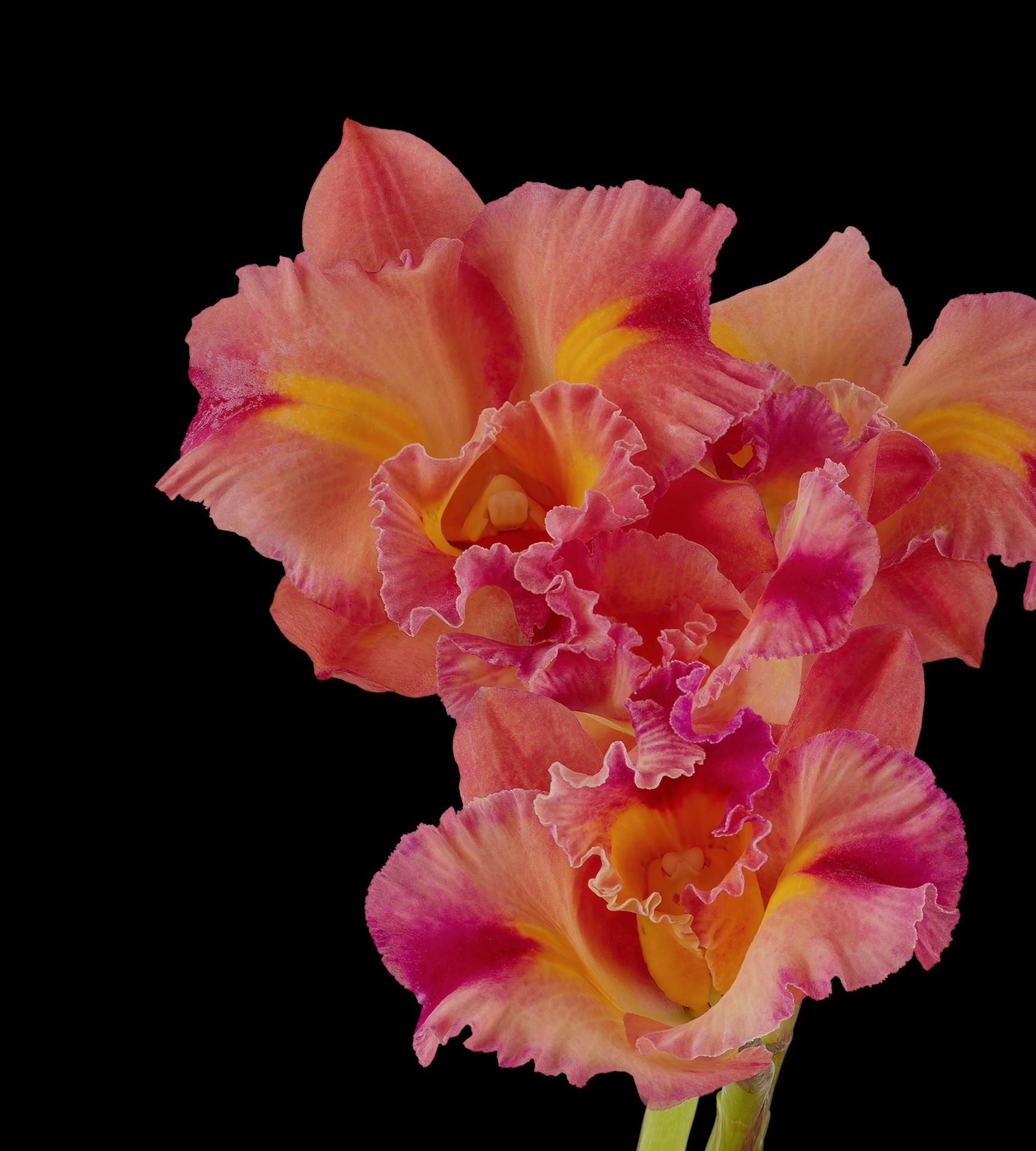 Pixel 6 Pro Wallpaper Cattleya Orchid dark by Andrew Zuckerman