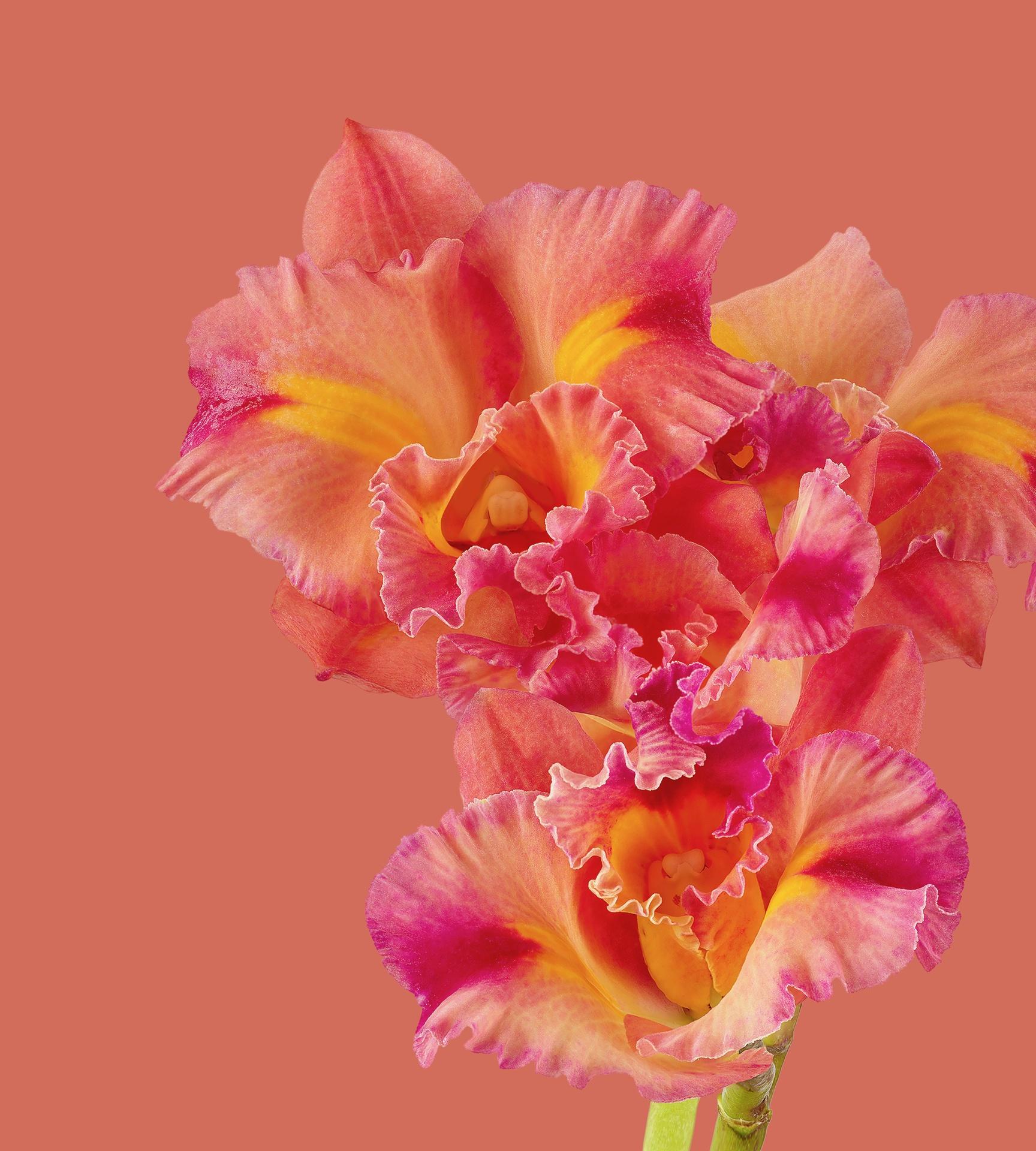 Pixel 6 Pro Wallpaper Cattleya Orchid light by Andrew Zuckerman
