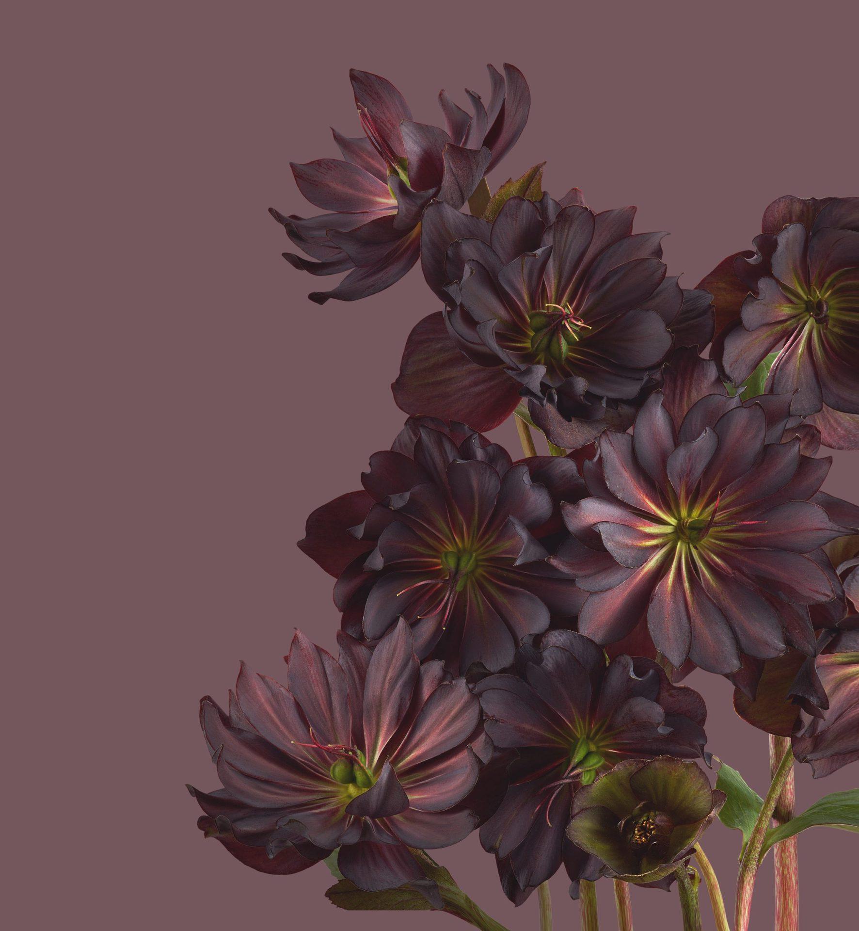 Pixel 6 Pro Wallpaper Hellebores light by Andrew Zuckerman