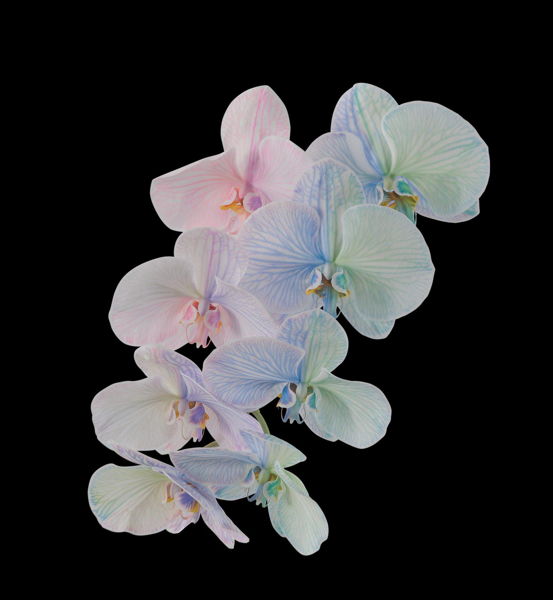 Pixel 6 Pro Wallpaper Moth Orchid dark by Andrew Zuckerman