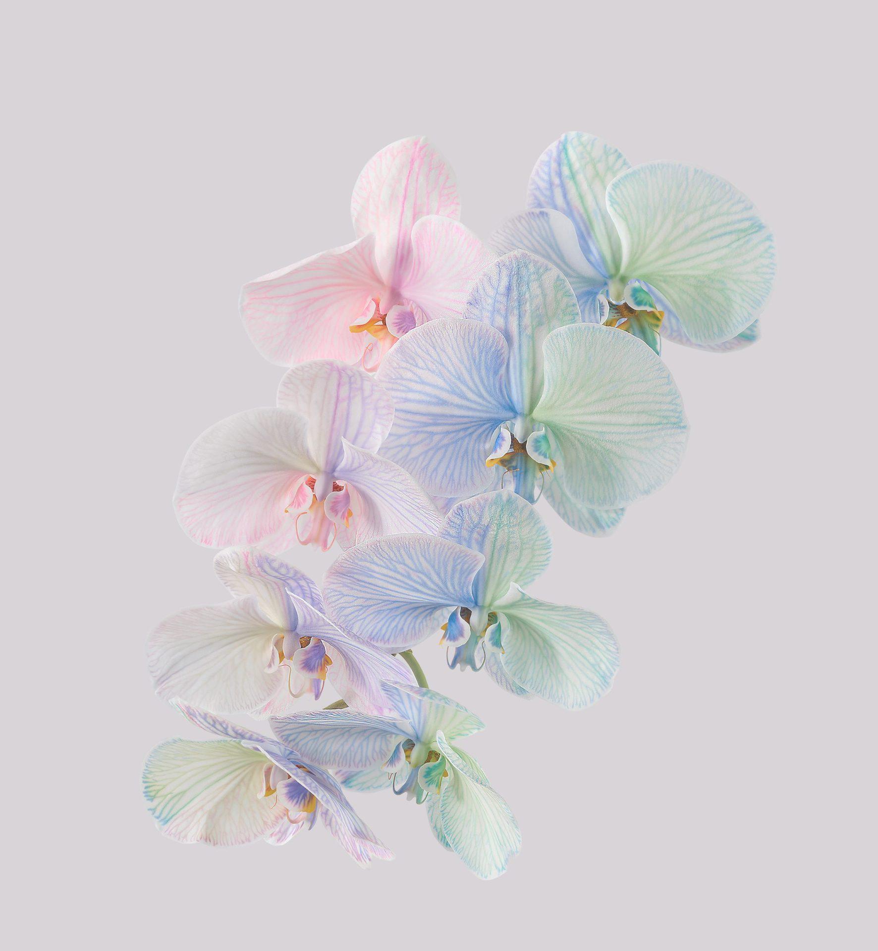 Pixel 6 Pro Wallpaper Moth Orchid light by Andrew Zuckerman