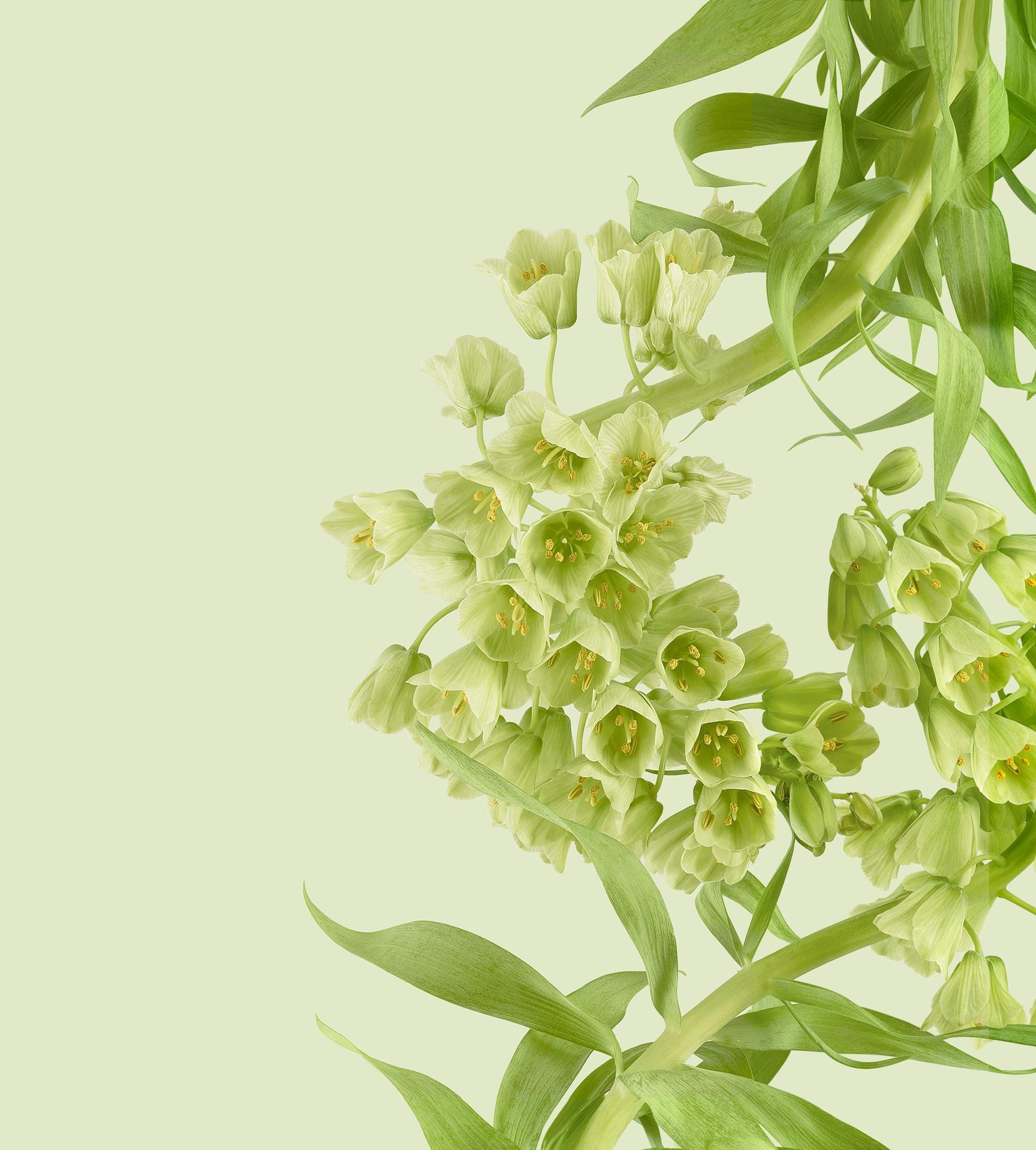Pixel 6 Pro Wallpaper Persian Lily light by Andrew Zuckerman