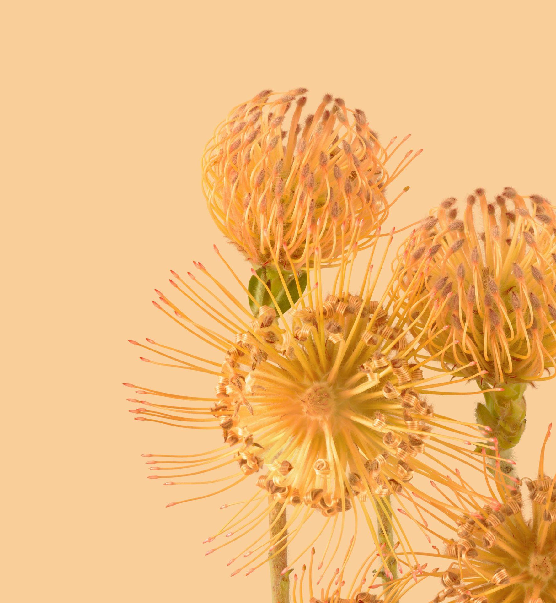 Pixel 6 Pro Wallpaper Pincushion Protea light by Andrew Zuckerman
