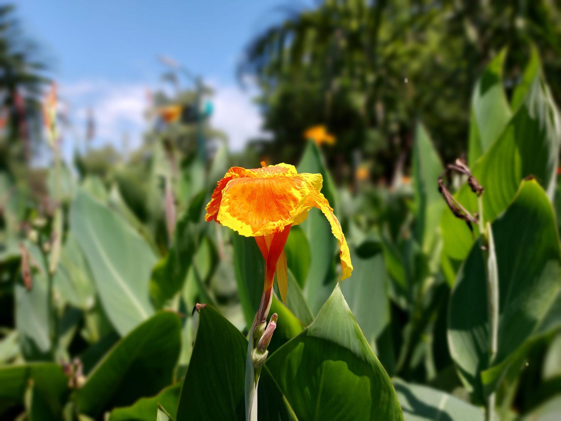 Samsung Galaxy A52s 5G camera sample rear portrait mode shot of orange and green flower.